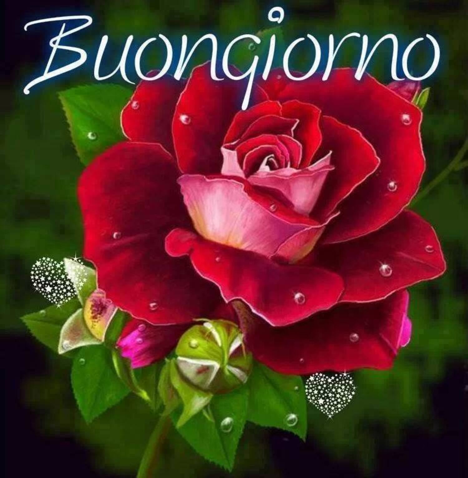 Buongiorno rosa rossa